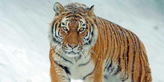 tigre neve